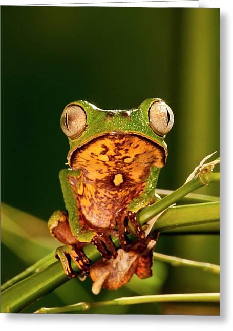 Razor Backed Monkey Frog Phyllomedusa Greeting Card by David Northcott
