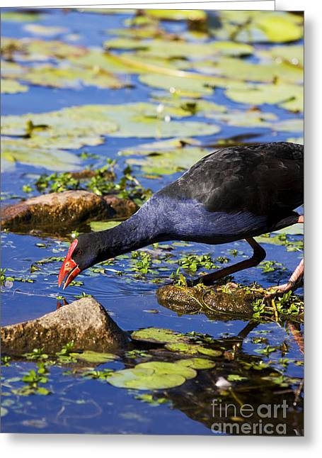 Red Billed Coot Greeting Card