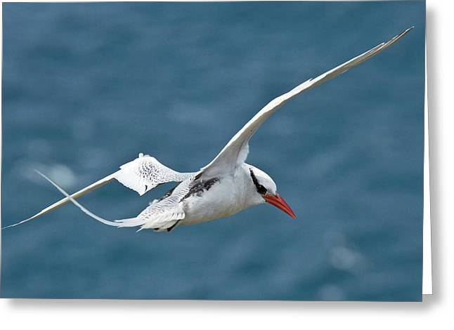 Red-billed Tropicbird In Flight Greeting Card by Bob Gibbons