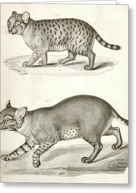 1. Red Cat  2. American Panther., Suckley Greeting Card