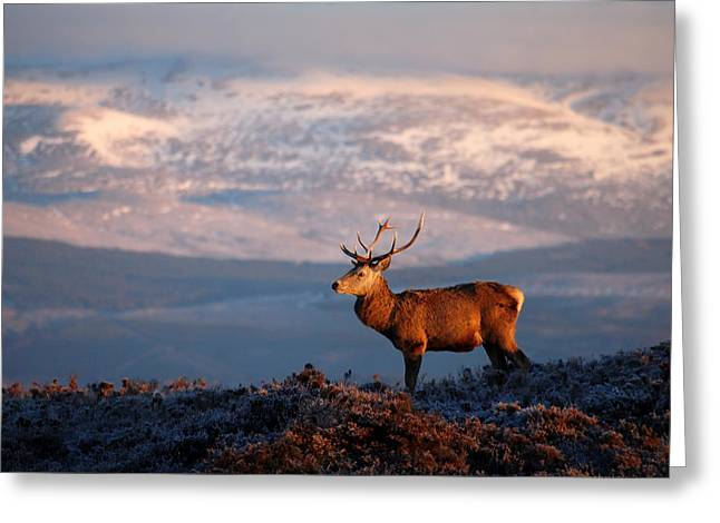 Greeting Card featuring the photograph Red Deer Stag by Gavin Macrae