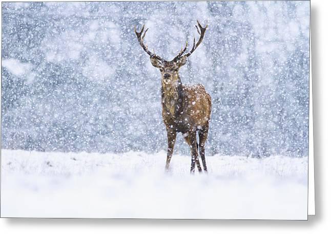 Red Deer Stag In Snowfall Derbyshire Uk Greeting Card