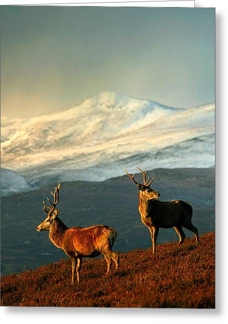 Red Deer Stags Greeting Card