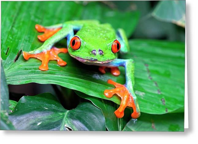 Red-eyed Tree Frog (agalychnis Greeting Card by Susan Degginger