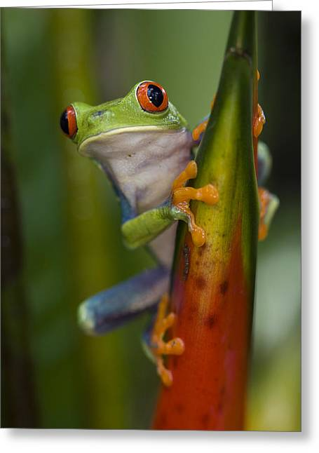 Red-eyed Tree Frog Costa Rica Greeting Card by Suzi  Eszterhas
