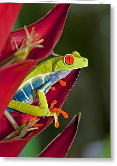 Greeting Card featuring the photograph Red Eyed Tree Frog 2 by Dennis Cox WorldViews