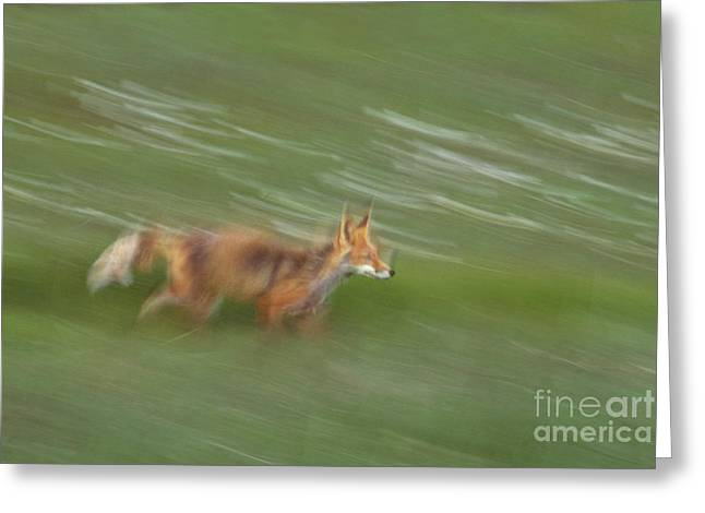Red Fox Greeting Card by Art Wolfe