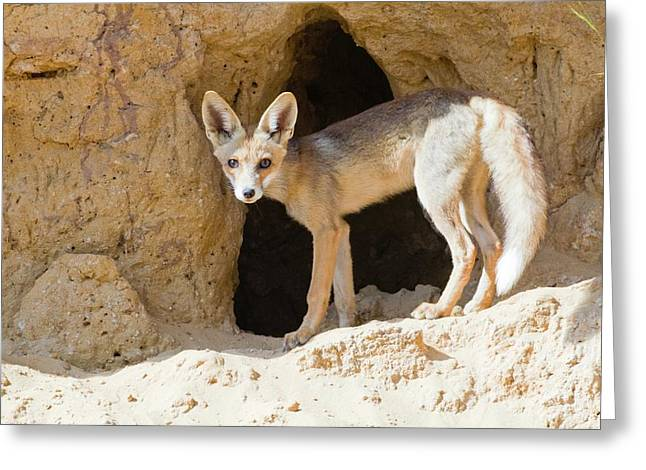 Red Fox (vulpes Vulpes) Greeting Card by Photostock-israel