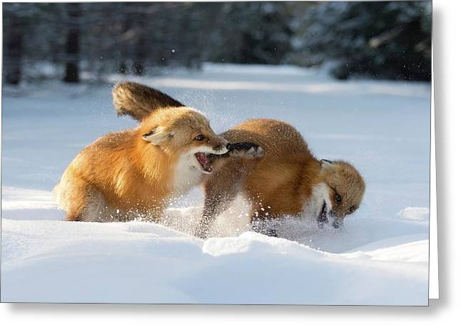 Red Foxes Interacting In Snow Greeting Card by Dr P. Marazzi/science Photo Library