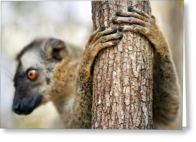 Red-fronted Brown Lemur Greeting Card