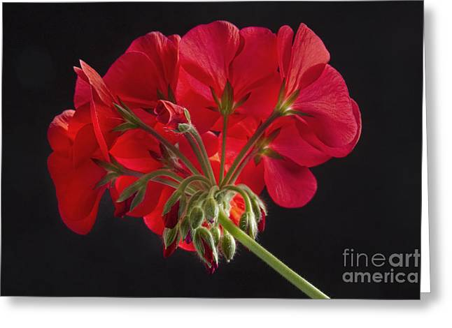 Red Geranium In Progress Greeting Card