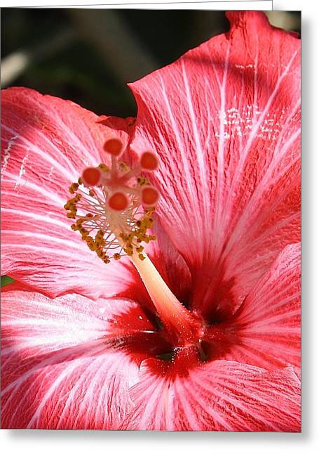 Red Hibiscus Greeting Card by Bruce Bley
