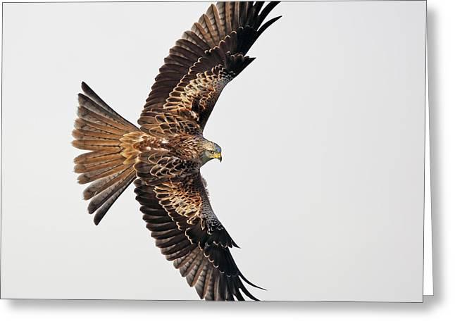 Red Kite In Flight Greeting Card by Grant Glendinning