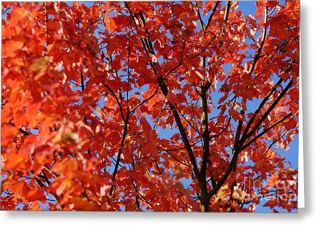 Red Leaves Of Autumn Greeting Card by David Birchall
