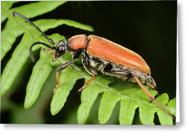 Red Longhorn Beetle Greeting Card