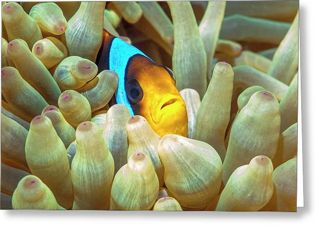 Red Sea Anemonefish Greeting Card