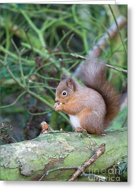 Red Squirrel Greeting Card by Ruth Black