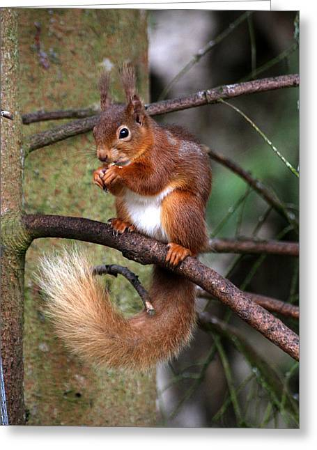 Red  Squirrel Greeting Card by Tom Gallacher