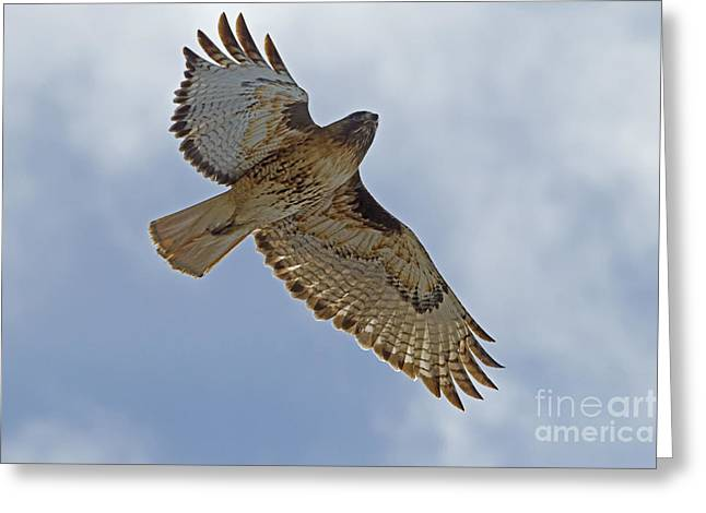 Red-tail Hawk #3094 Greeting Card by J L Woody Wooden