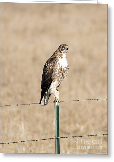 Red Tail Stare Greeting Card by Mike Dawson