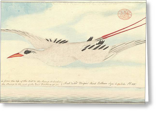 Red-tailed Tropicbird Greeting Card by Natural History Museum, London