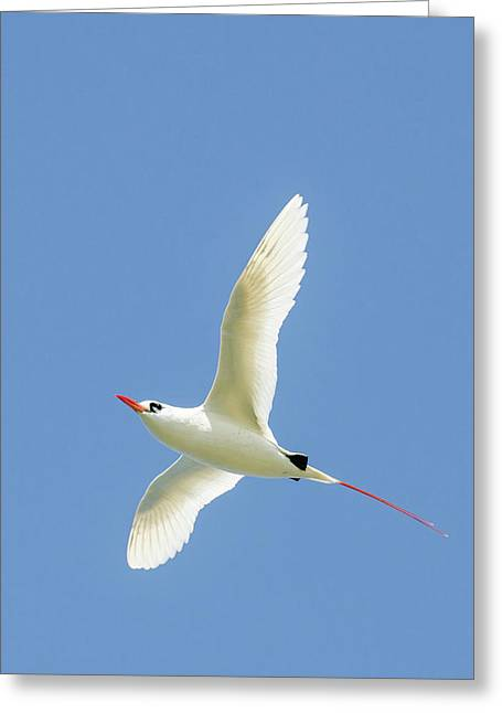 Red-tailed Tropicbird (phaethon Greeting Card