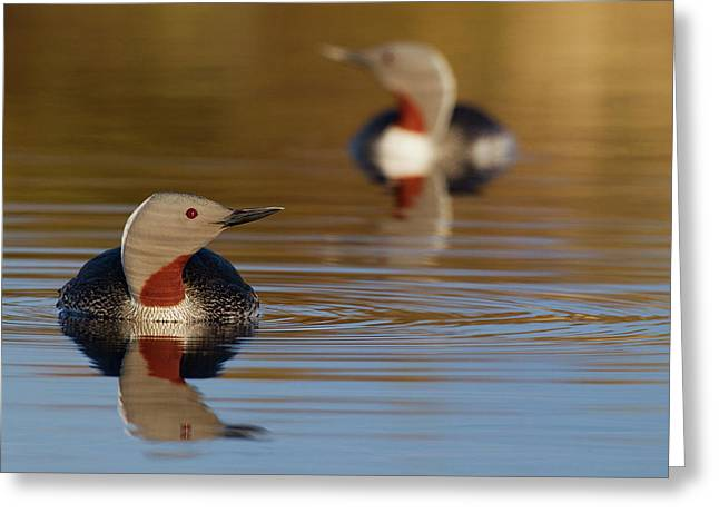 Red-throated Loon Pair Greeting Card