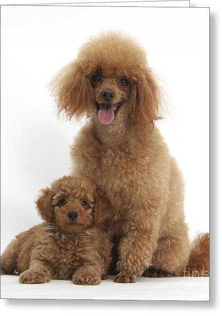 Red Toy Poodle Dog And Puppy Greeting Card