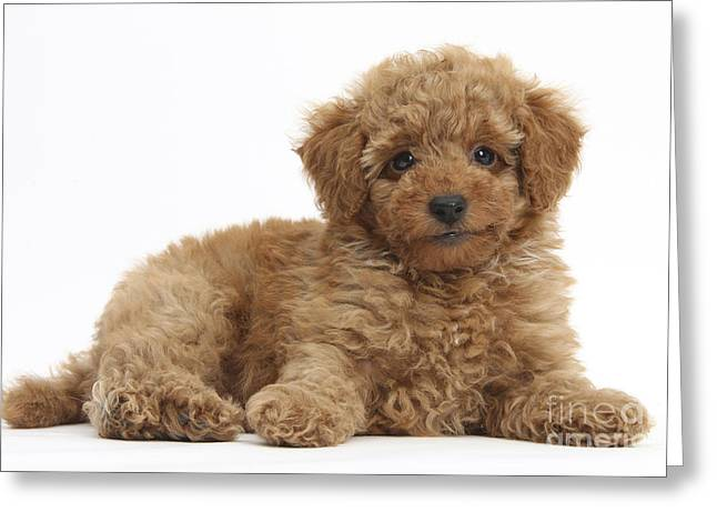 Red Toy Poodle Puppy Greeting Card by Mark Taylor