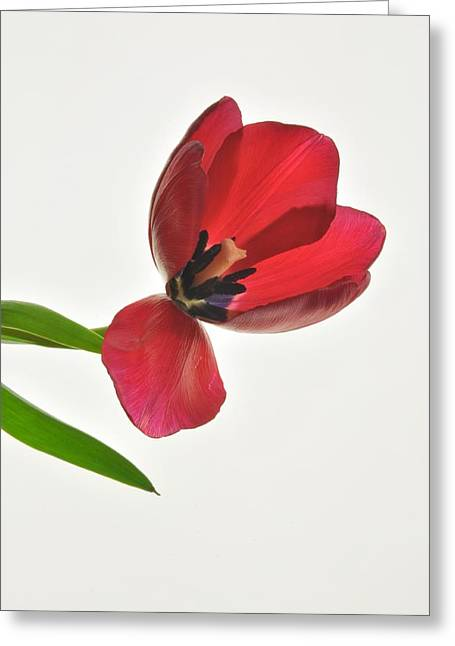 Red Transparent Tulip Greeting Card