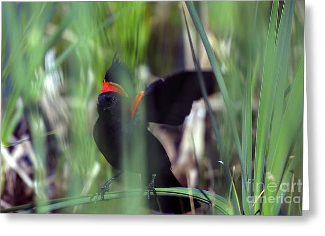 Red-winged Blackbird Greeting Card by Steven Ralser