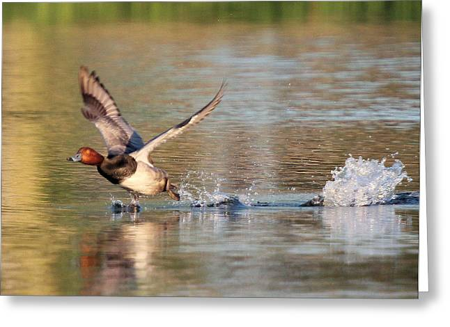 Redhead Drake Launch Greeting Card