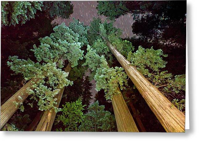 Redwood (sequoia Sempervirens) Trees Greeting Card by Bob Gibbons