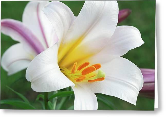 Regal Lily (lilium Regale) Greeting Card by Ann Pickford
