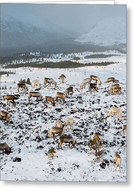 Reindeer In Snow Greeting Card by Duncan Shaw
