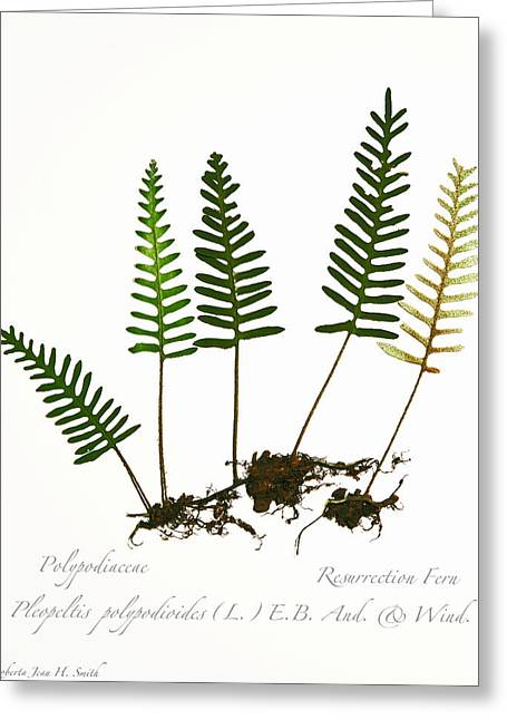 Resurrection Fern 2 Greeting Card