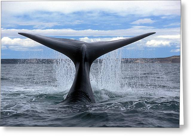Right Southern Whale Greeting Card