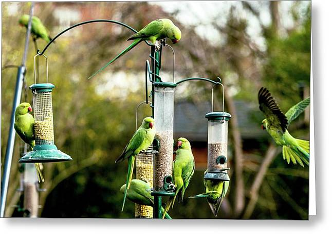 Ring-necked Parakeets Greeting Card