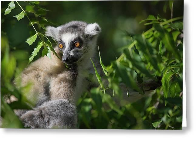 Ring Tailed Lemur (lemur Catta Greeting Card