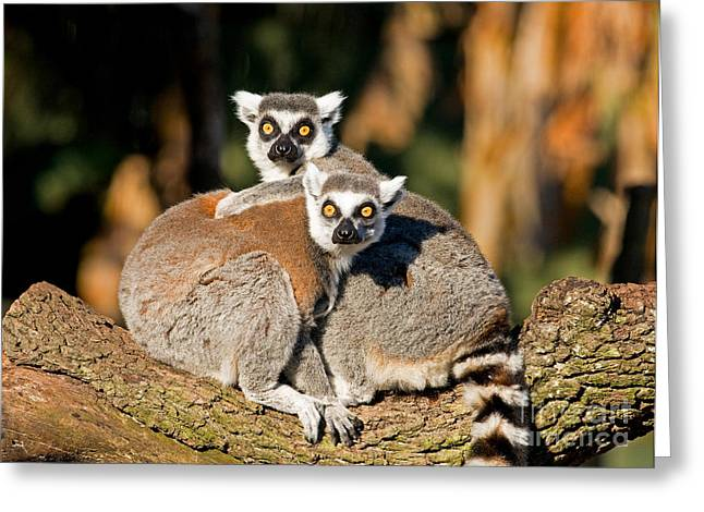 Ring Tailed Lemur Greeting Card by Millard H. Sharp