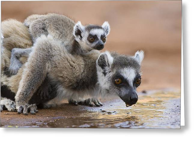 Ring-tailed Lemur Mother Drinking Greeting Card by Suzi Eszterhas