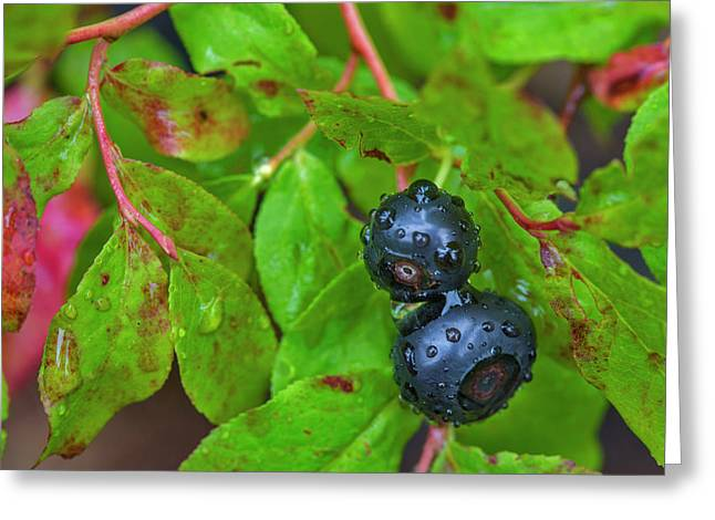 Ripe Huckleberries In A Light Rain Greeting Card by Chuck Haney
