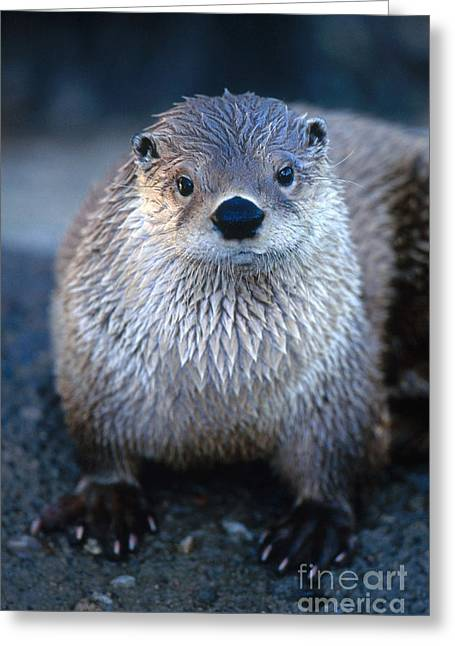 River Otter Greeting Card by Art Wolfe
