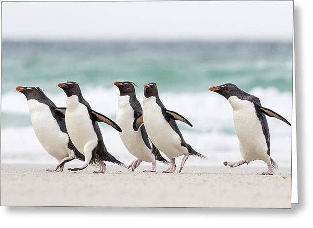 Rockhopper Penguin (eudyptes Chrysocome Greeting Card by Martin Zwick