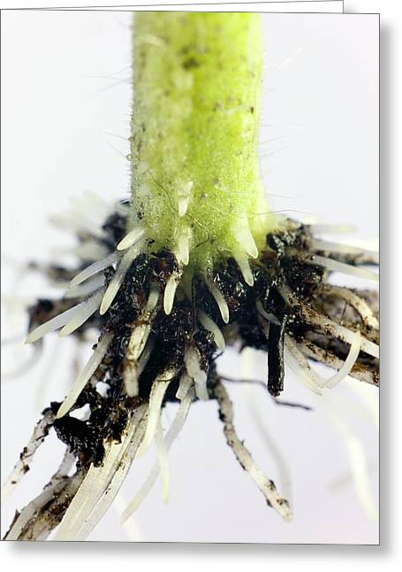 Root Formation By A Tomato Cutting Greeting Card by Dr Jeremy Burgess