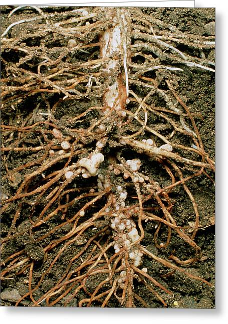 Root Nodules Of Broad Bean Greeting Card by Dr Jeremy Burgess/science Photo Library