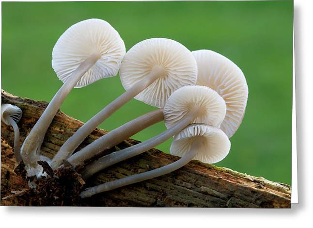 Rooting-bonnet-cap Fungus Greeting Card by Nigel Downer
