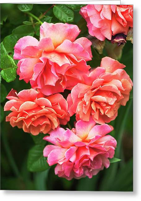 Rosa 'easy Does It' Flowers Greeting Card by Maria Mosolova
