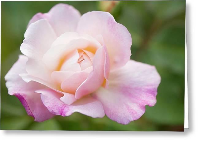 Rosa 'gruss An Aachen' Flower Greeting Card by Maria Mosolova