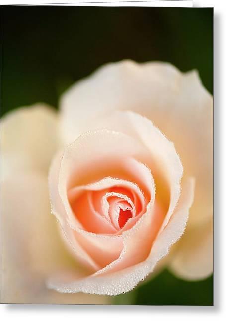 Rosa 'johann Strauss' Flower Greeting Card by Maria Mosolova